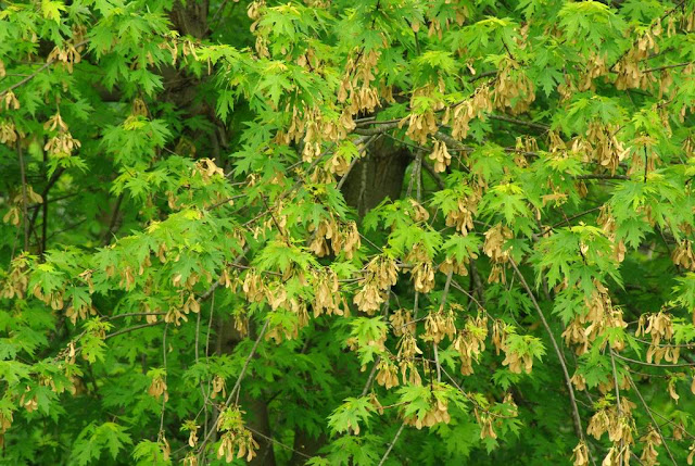 tree seed helicopter with Graduation Garden And Patio on Maple Seeds And Animals Exploit Same Trick Fly 1540 furthermore 564860073 additionally Crimson King Maple Tree Seeds furthermore Factsheet additionally Ragwort Control Removal Advice.