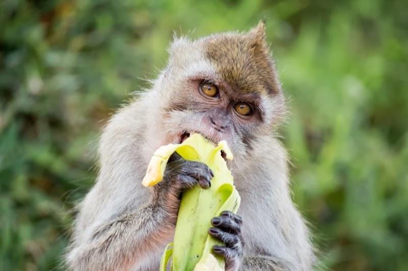 Singe qui mange une banane à Grand Bassin, Ile Maurice