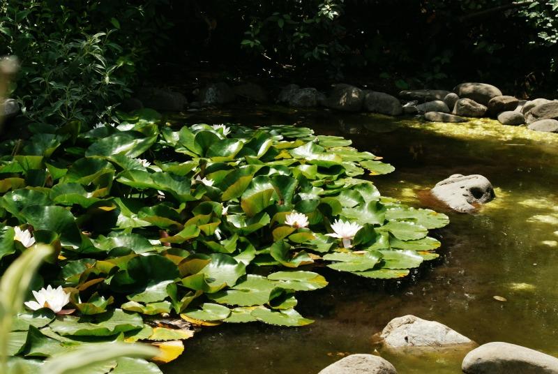 ninfee in lago casalingo