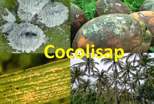 How Cocolisap infestation spread in Philippines