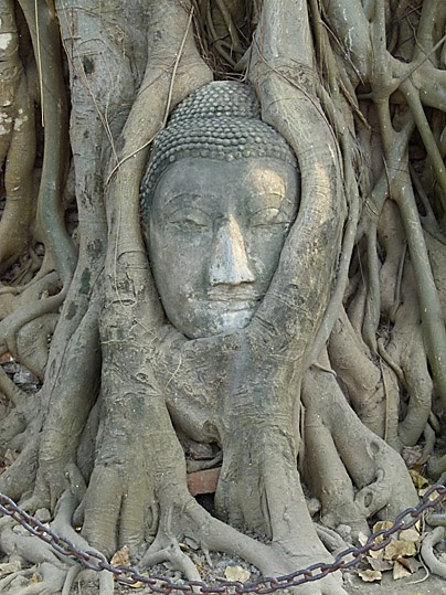 A Buddha Head In  Ayutthaya