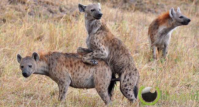 Hyena Tutul