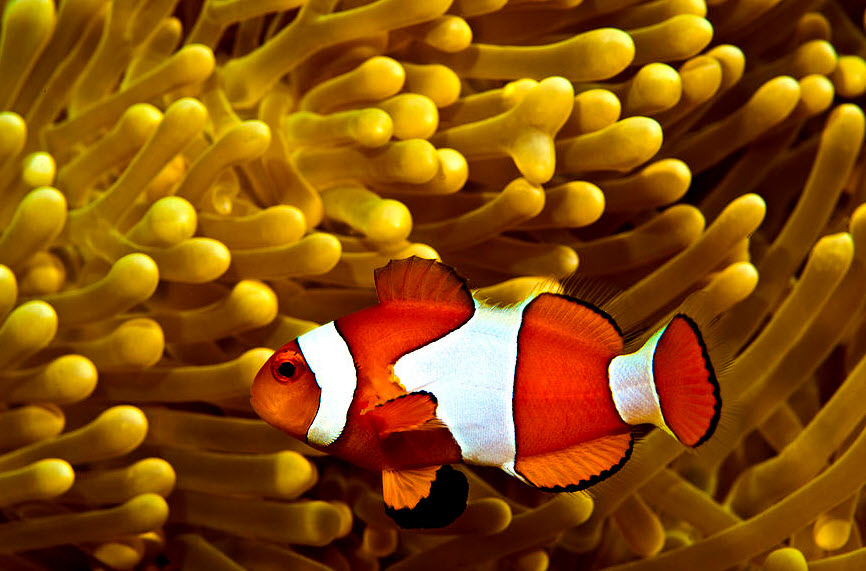 Clownfish the biggest animals kingdom for Clown fish life cycle
