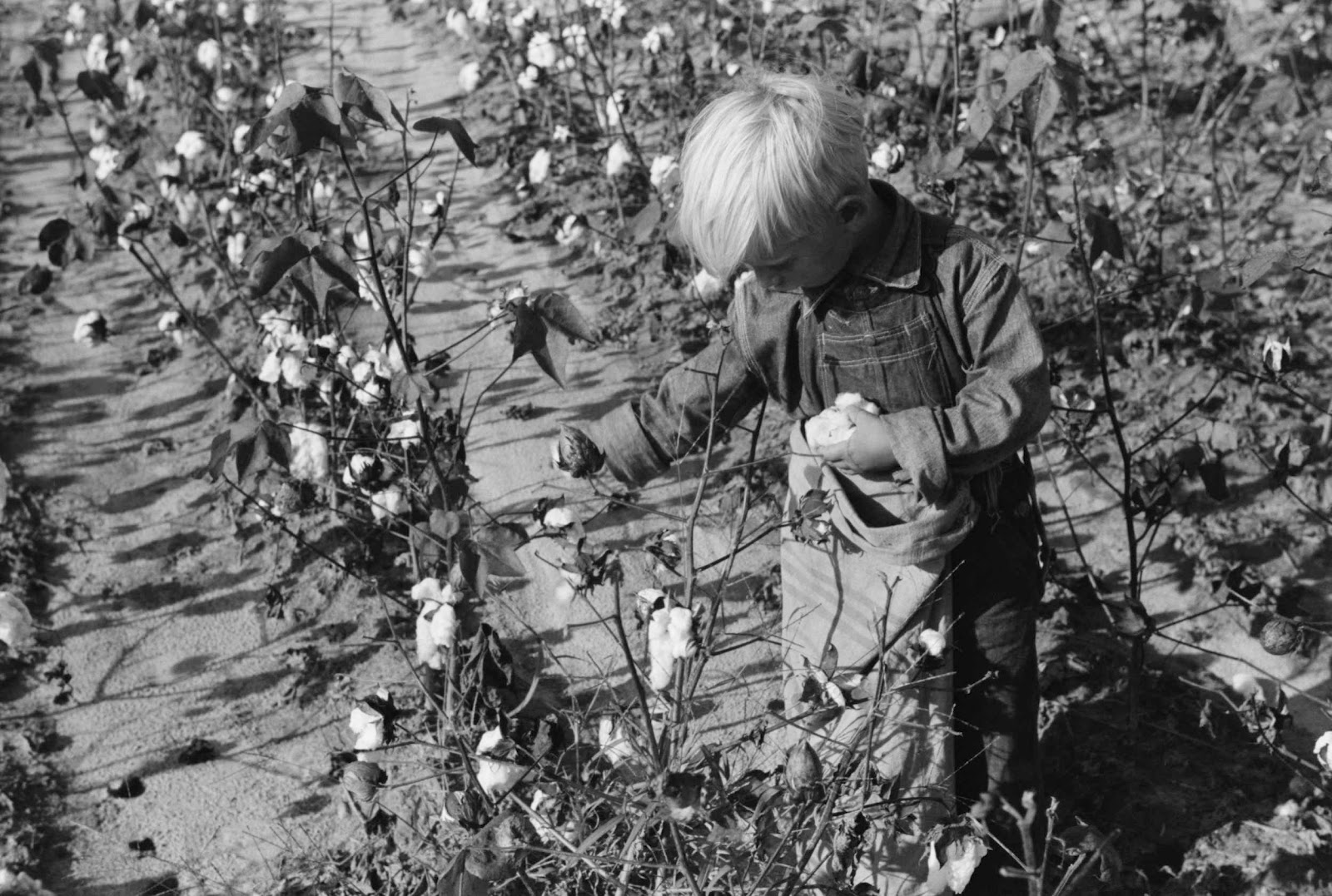 picking cotton If we were picking cotton for my granddaddydinnertime was a different story)))) my grandmother didn't really go to the field to pick cotton that i can remember, but she would come bring us water and she fixed lunch.