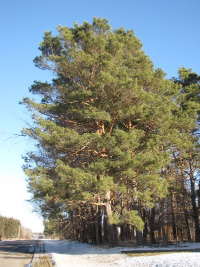 Scotch pine