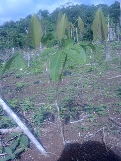 Foto0138 cara mengatasi Jamur akar putih