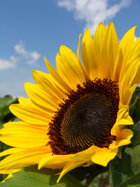 photograph by ChatterBlossom of full bloomed sunflower at farm
