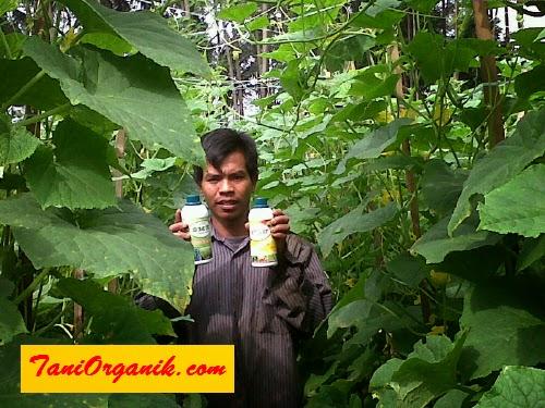 Pak Ijan menggunakan POC BMW untuk memacu pertumbuhan tanaman mentimunnya, dan ANTILAT untuk pengentasan hamanya terutama ulat.