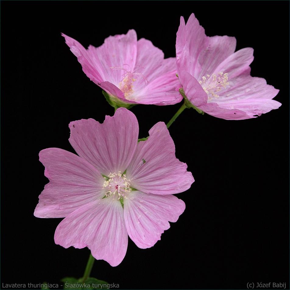 Lavatera thuringiaca - Ślazówka turyngska kwiaty