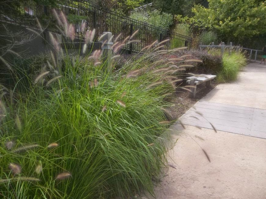 Future plants by randy stewart fountain grass for Fast growing decorative grass