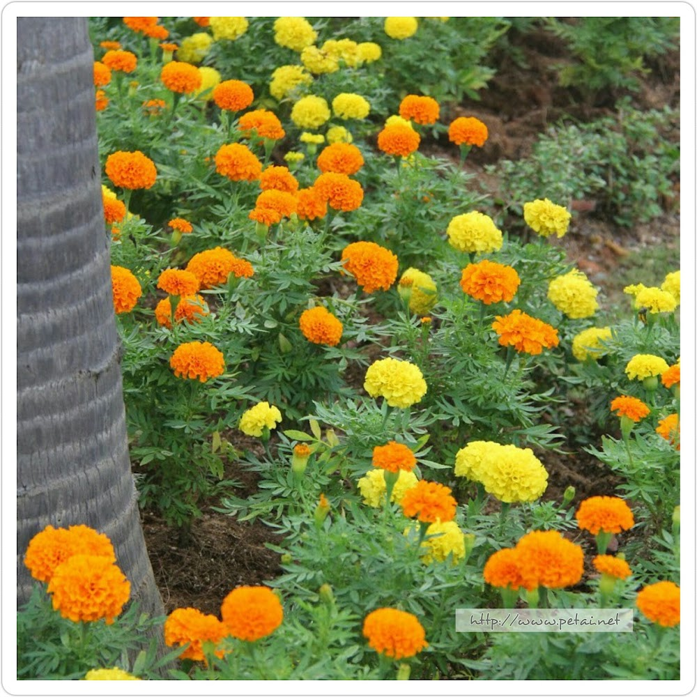 Orange and Yellow Marigold