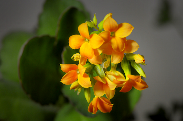 Kalanchoe Flowers MACRO. Nikon D90 w/ AF-S MICRO Nikkor 105mm 1:2.8G ED Photo-edited using Paintshop Pro X4 Ultimate.