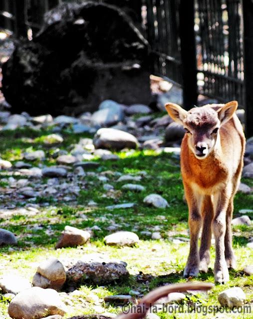 pui capra zoo pitesti