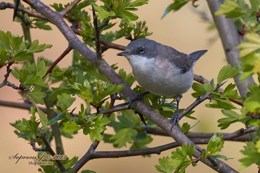 Kis poszáta - Lesser Whitethroat - Klappergrasmücke - Sylvia curruca