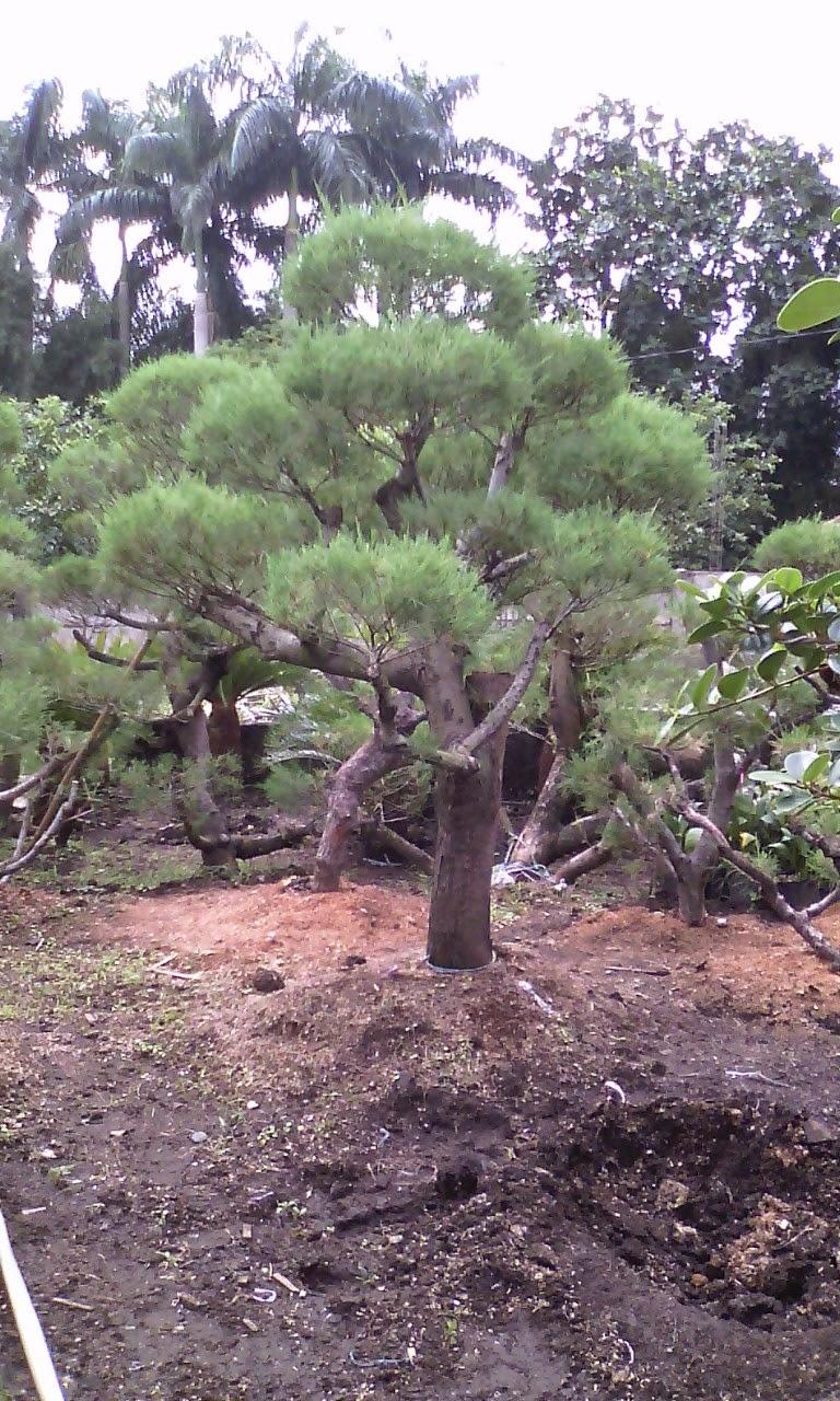 cemara udang bonsai