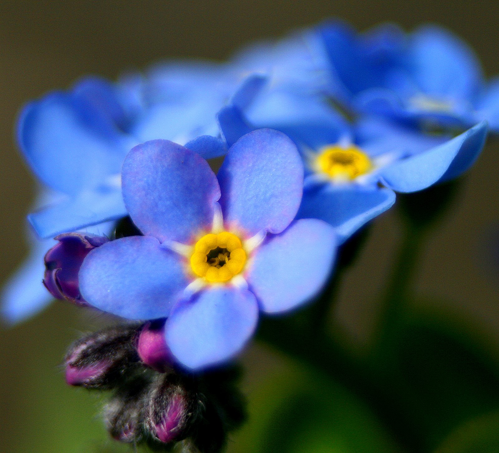 the intricate soul forgetmenot a flower to remember, Natural flower