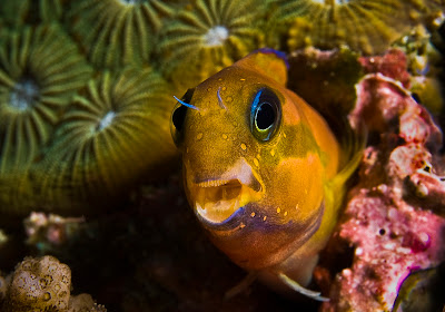fish index midas blenny ecsenius midas