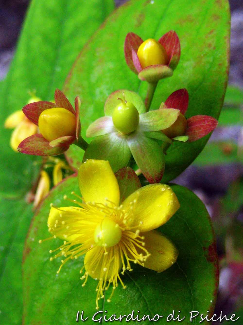 Il giardino di psiche alcune variet d 39 iperico - Il giardino di ausonia ...