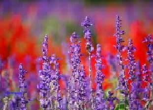 Tumbuhan Bunga lavender