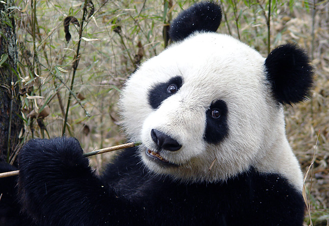 [Image: panda0106.jpg]