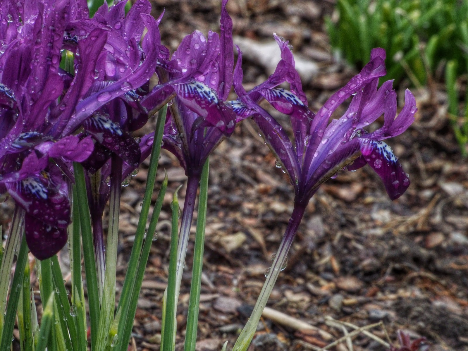 Purple Gem Iris, Bedecked by Rain #Iris #conservatorygarden #centralpark #2014 NYC