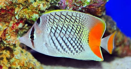 Peces y plantas ornamentales chaetodon xanthurus pez for Acuariofilia peces ornamentales