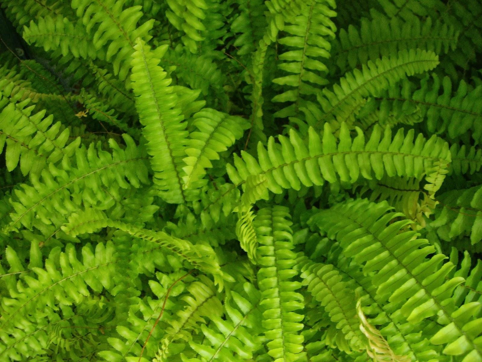 La mar de verde nephrolepis exaltata o helecho espada for Planta ornamental helecho nombre cientifico