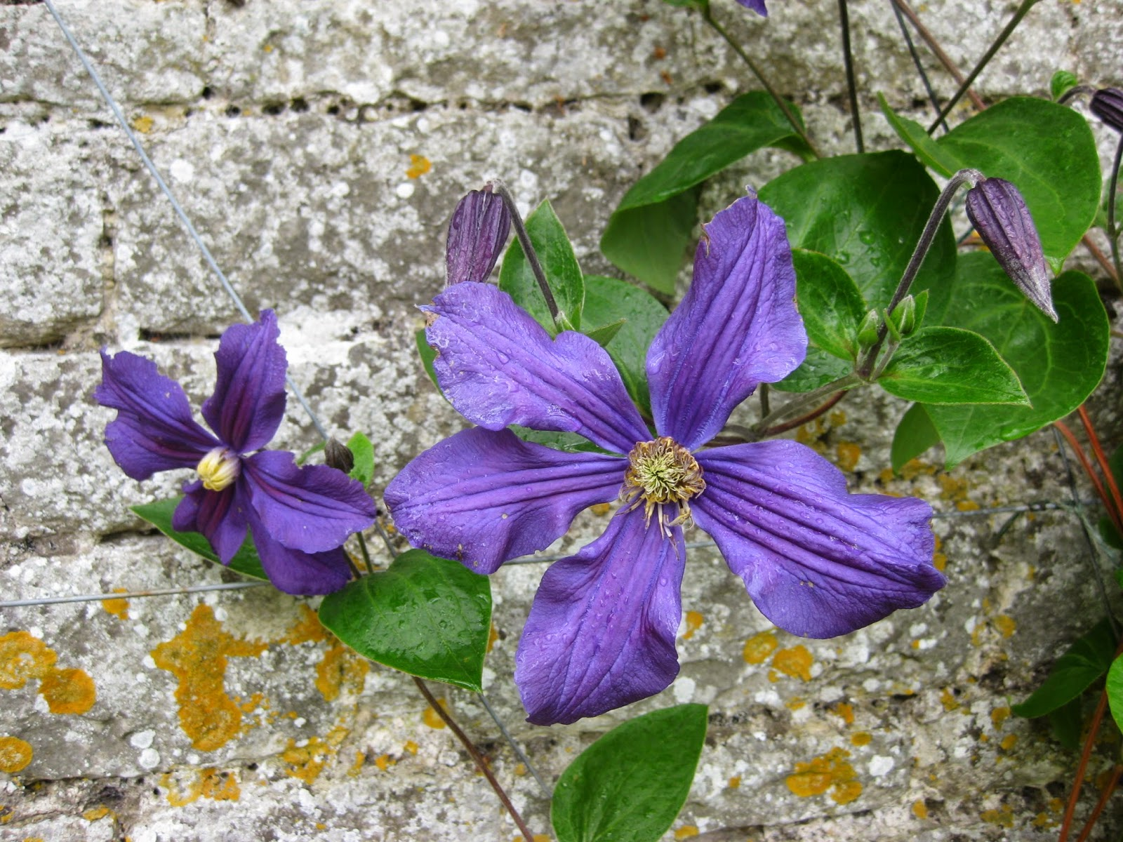 Clematis at Nunnington Hall by Madder Hatter