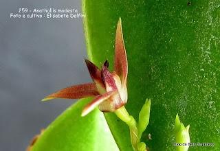 Pleurothallis modesta, Lephantes modesta, Specklinia modesta