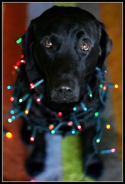 christmas lights black lab - Dog Christmas Lights