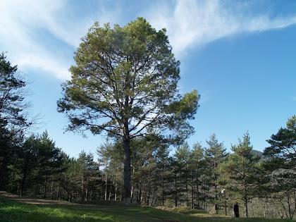 La monumental pinassa del Pla de la Terma