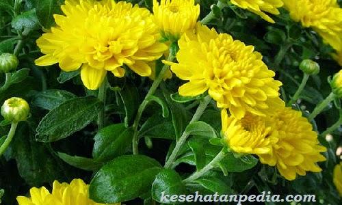 manfaat daun dan bunga krisan