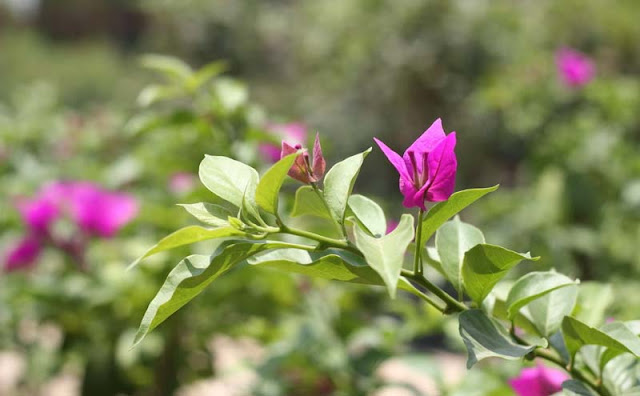 Bougainvillea Flowers Pictures