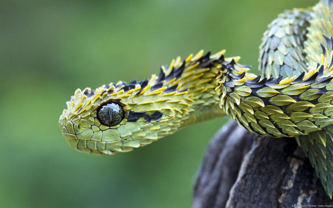 Snakes Eyelash Viper