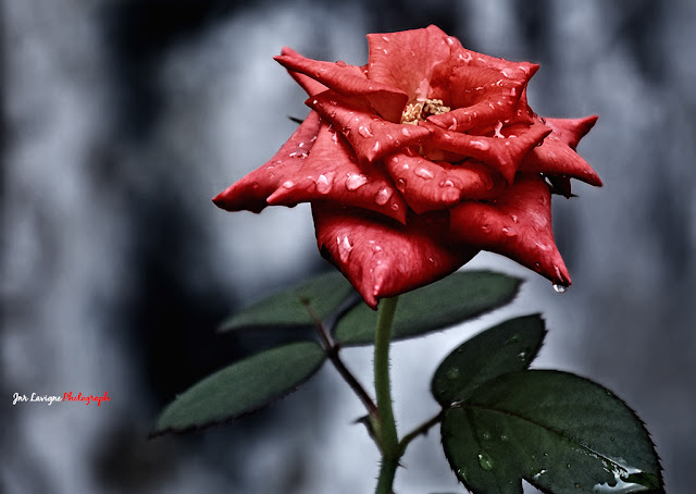Beautiful Red Roses After Rain