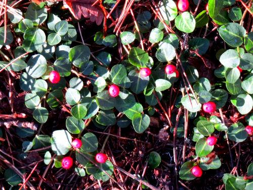 partridgeberry