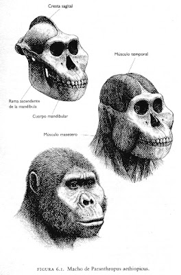 hominidae del plioceno Paranthropus aethiopicus