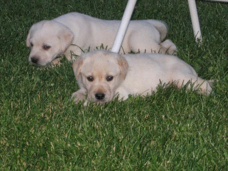 Nicki's puppies 5 weeks old