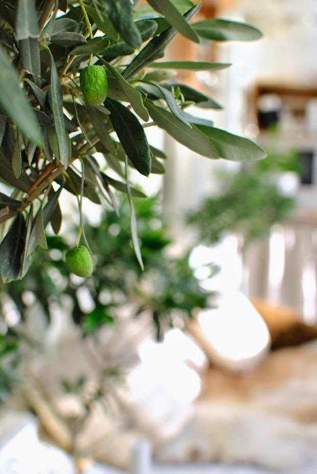 oliver olivträd