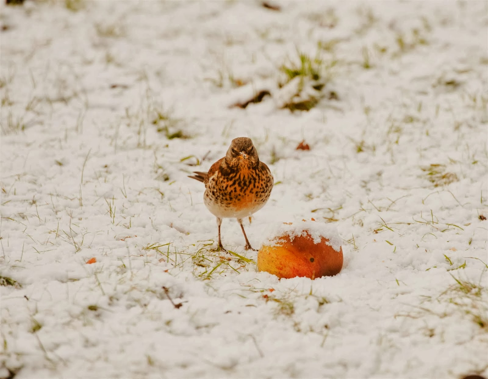 RSPB FieldFare Bird Eating Food In Snow