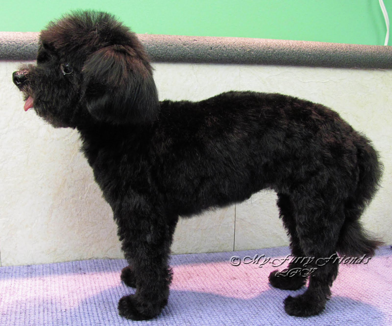 Toy Black Poodle Haircuts Images & Pictures - Becuo