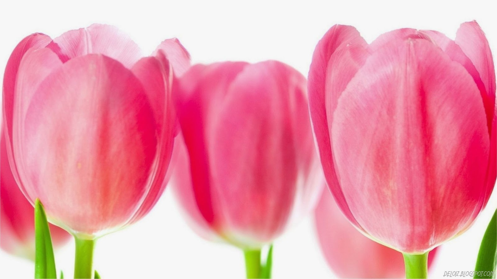 10 Wallpaper Bunga Tulip Pink  Deloiz Wallpaper