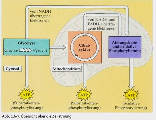kohlenhydrate stoffwechsel