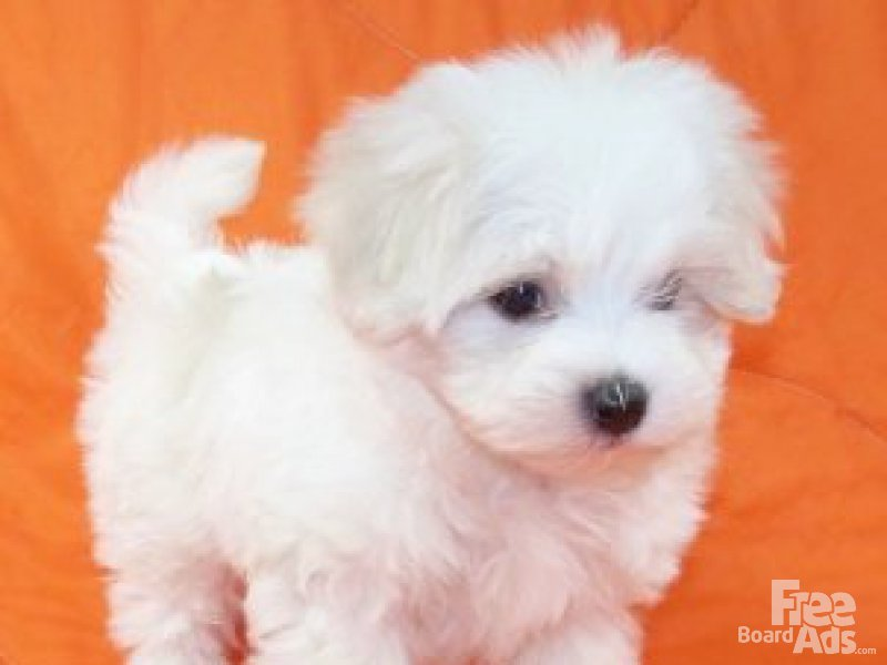 Tiny Teacup Maltese Puppies Free Download Wallpaper