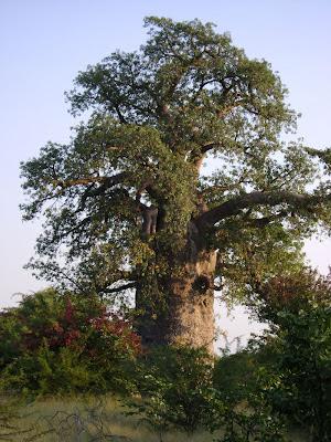 Więcej zdjęci z Baobab planet