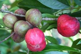 Tanaman Mahkota Dewa (Phaleria Macrocarpa (Scheff) Boerl)