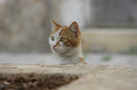 aleppo cats of war