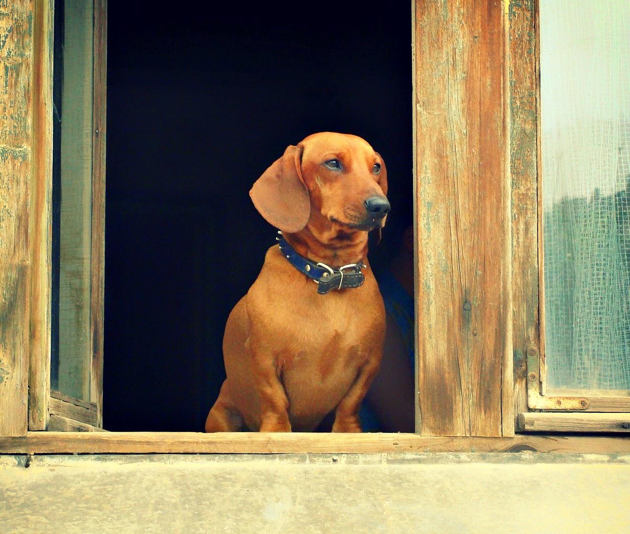 falusi élet, kutya, novella, állatok, állatvilág,