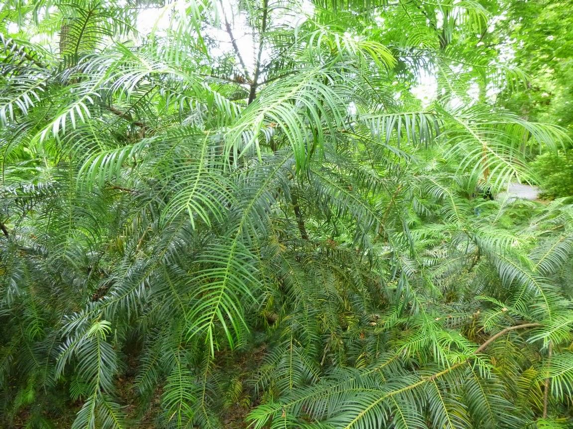 Cephalotaxus lanceolata, Yunnan Plum Yew