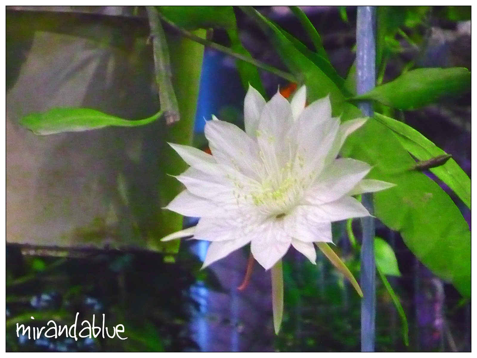 Why Are Night Blooming Flowers White Image Collections Fresh Lotus